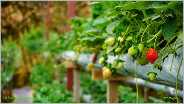 万绿丛中一点红草莓