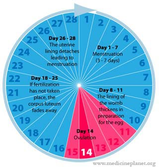 Photo archive diagram menstrual cycle diagram menstrual cycle ccuart Image collections