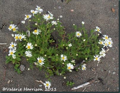 22-daisies