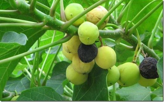 Aceite de Jatropha como biodiesel, realidad o ficción (1)