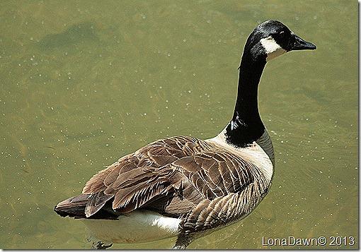 NB_Goose