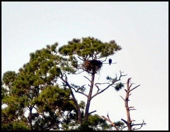 Birds - Bald Eagle and nest