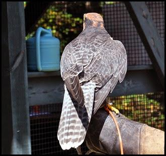 05e - Lanner Falcon