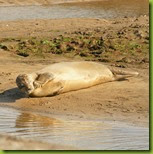Seals on the beach at RSPB Titchwell Marsh Norfolk
