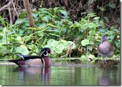 Male and female wood ducks on Silver River
