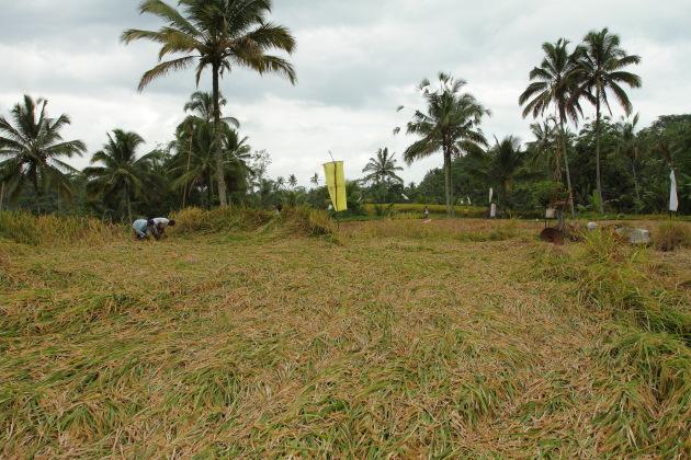 Rice Harvesting near Gunung Kawi, Bali, Indonesia