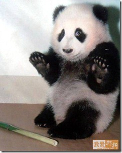 guilty panda bear