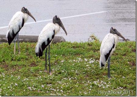 3 Wood Storks