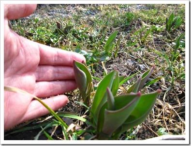 20120322_tulips_001