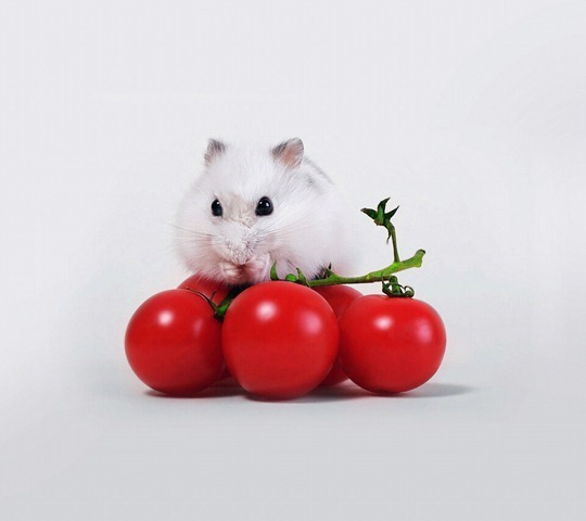 Tomato and Mice_33581295