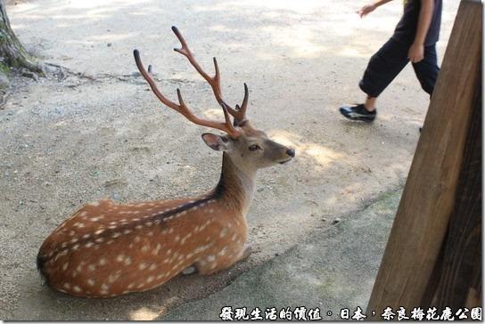 奈良梅花鹿公園07
