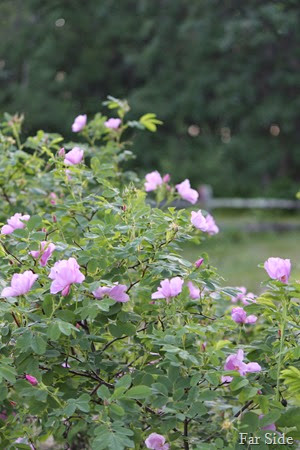 Wild Roses two