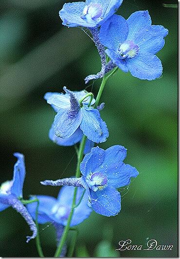 Delphinium_Bluebird2