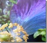 hd poppy petal