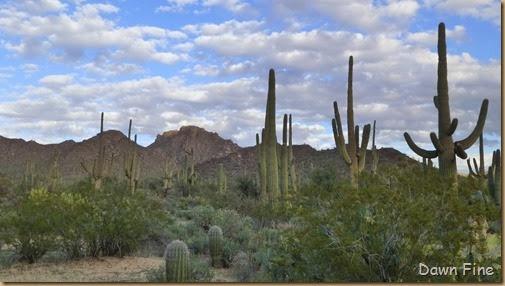 Saguaro NP West_023