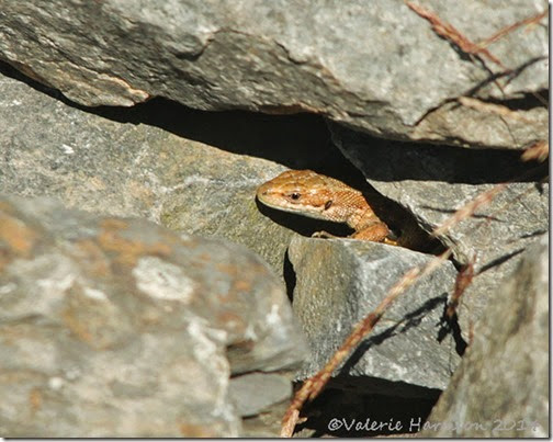 Common-Lizard-2