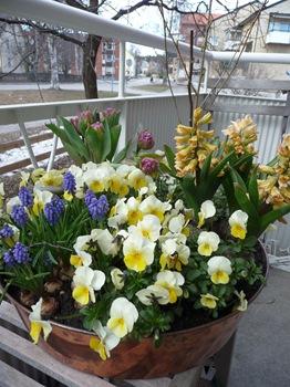 050 korr pensé pärlhyacint tulpan hyacint Daniel Grankvist
