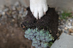 Once the  hole is dug, I'll scarify the roots of this sedum Hispanicum Var Minus - a very pretty succulent.