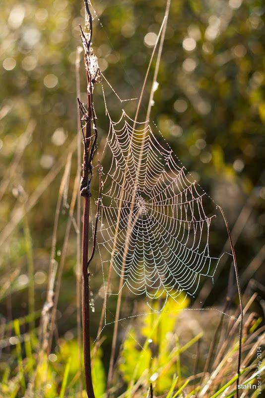 Павутинка десь біля Лопавше