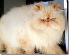 gatos-persa-infoanimal_b6