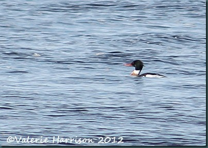 38-Merganser