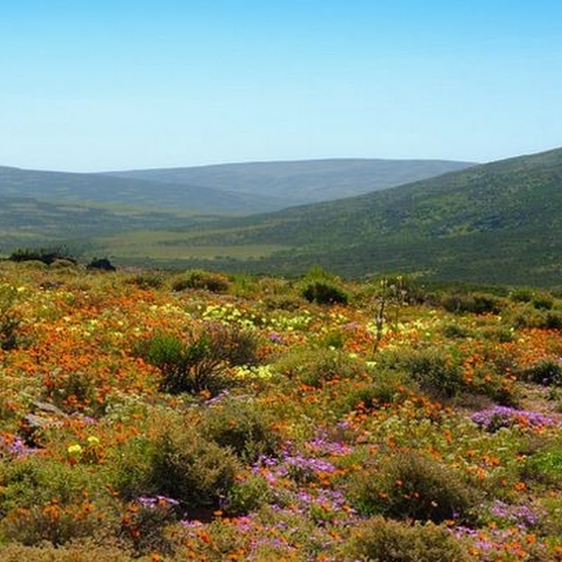 Namaqualand's Miraculous Spring Flowers