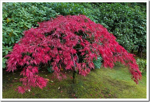 Lace Leaf Japanese Maple At The Head Of The Trail From The Sand And Stone  Garden