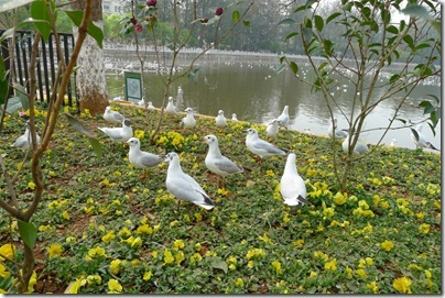 seagulls in Green Lake 翠湖