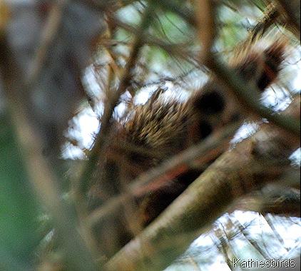 3. porcupine tail-kab