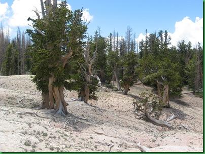 Bristle Cones at Cedar Breaks 095