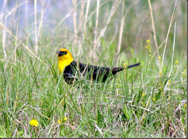 Male Yellow headed Blackbird in the grass