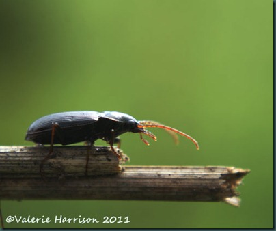 beetle nebria sp