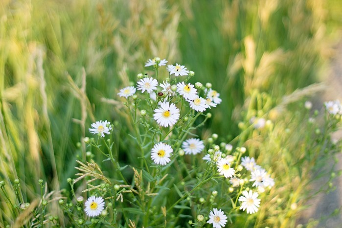 daisies and ladybug