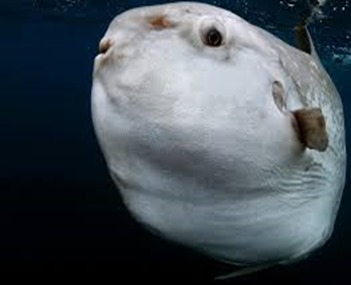 Amazing Pictures of Animals, photo, Nature, exotic, funny, incredibel, Zoo, ocean sunfish, Mola mola, or common mola, Alex (5)