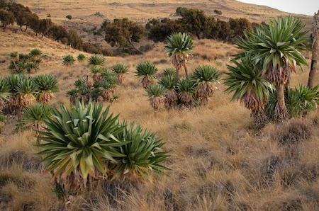 Muntii Simien - Etiopia: Vegetatie in drum catre Ambiquo
