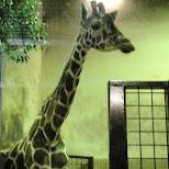 giraffe at ueno zoo in Ueno, Tokyo, Japan