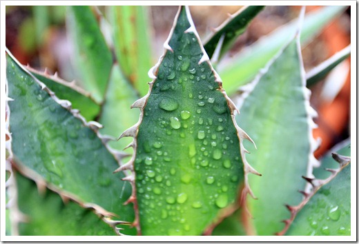 130331_Agave-ghiesbrechtii_01