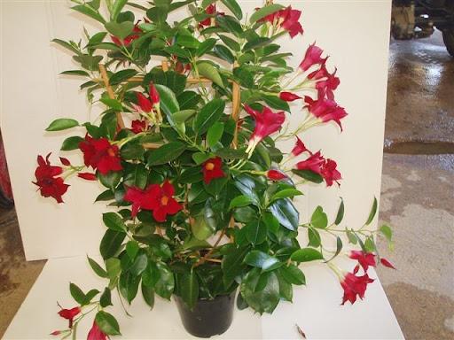 Dipladenia sundaville for Pianta con fiori rossi