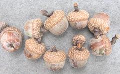 acorns fall 2012