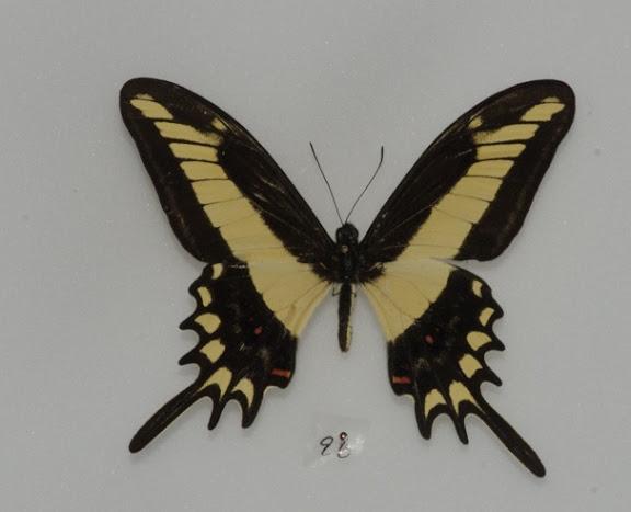 Papilio (Heraclides) lamarchei lamarchei STAUDINGER, 1892. Rio Quiquibey (Beni, Bolivie), 28 octobre 2012. Photo : C. Basset
