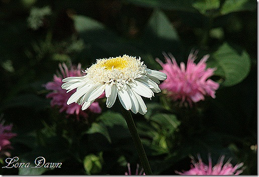 Chrysanthemum_Wirral_Pride