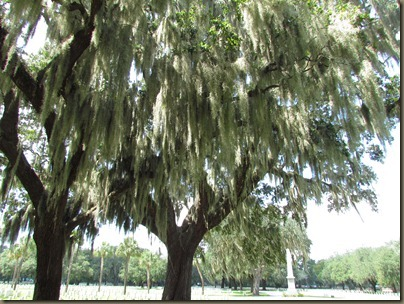 Beaufort National cemetary Live Oaks covered in Spanish Moss