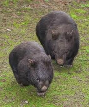 Amazing Pictures of Animals, Photo, Nature, Incredibel, Funny, Zoo, Common wombat, Vombatus ursinus, Marsupial, Mammals, Alex (21)