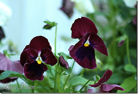 Pansy_Burgundy_June28