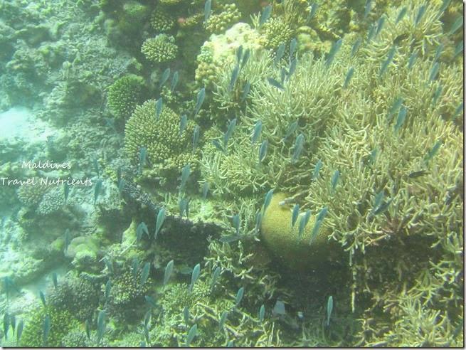 馬爾地夫 野餐島 浮潛 (6)