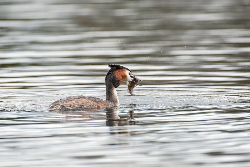Great Crested Grebe catching fish