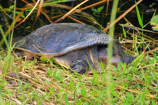 Turtle Everglades