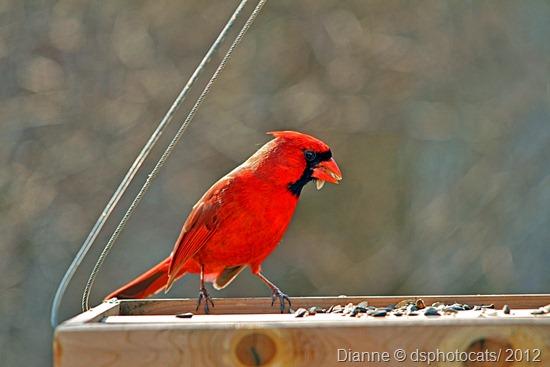 IMG_0635 Male Northern Cardinal
