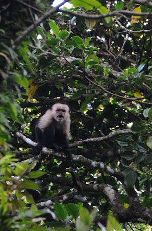 Fauna Costa Rica: maimuta Capucin