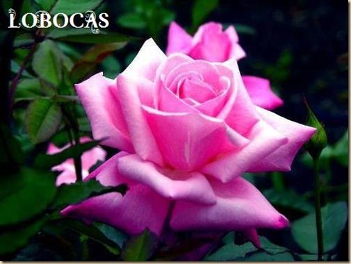 Rosa-LoBocAs-9001